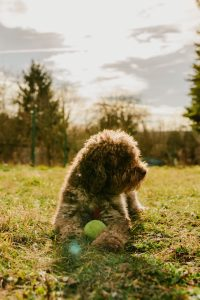 brown curly coated small dog on green grass field during daytime