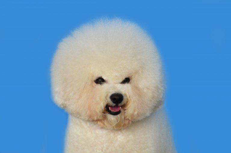 medium coat beige puppy