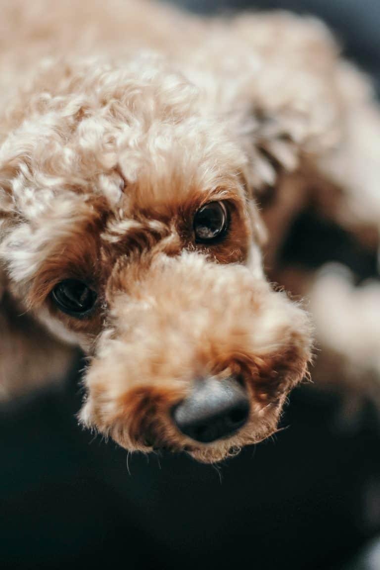 brown bolognese dog