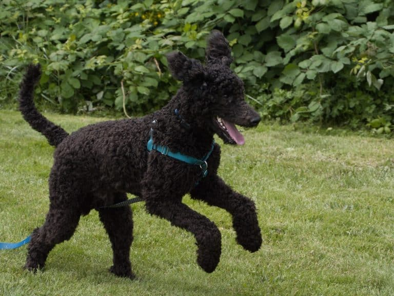 black short coat large dog on green grass field