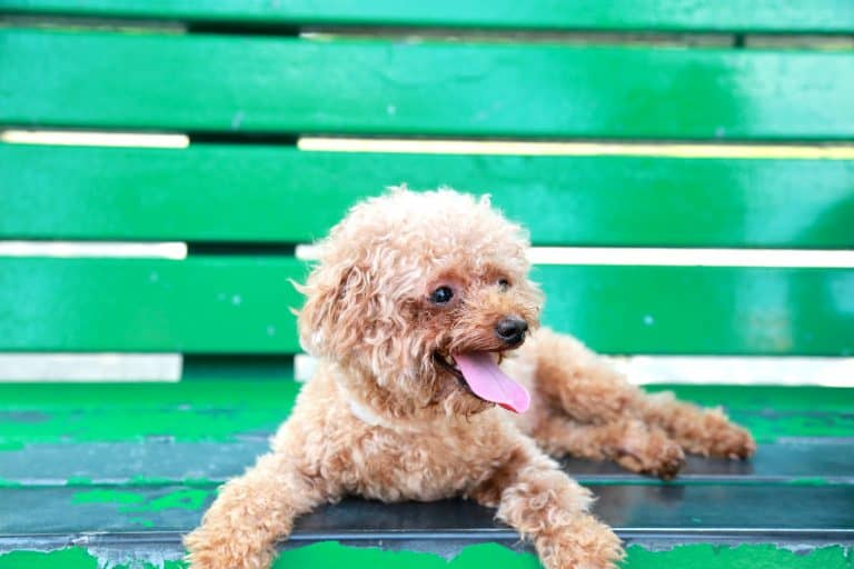 brown toy poodle on green wooden bench
