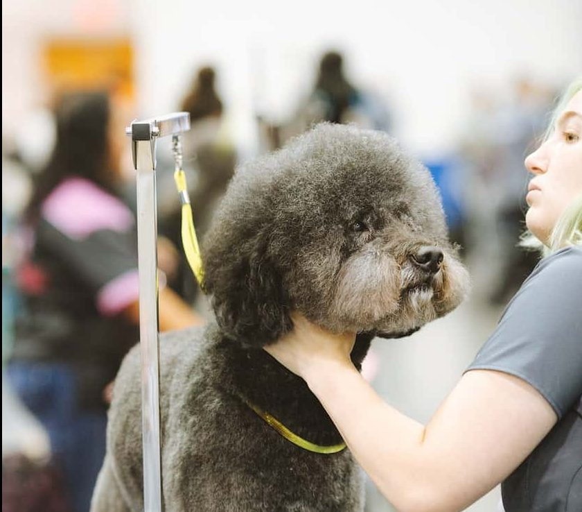 black poodle with yellow leash
