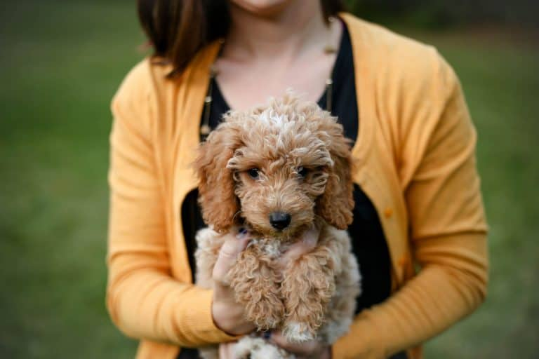 woman carrying tan poodle puppy