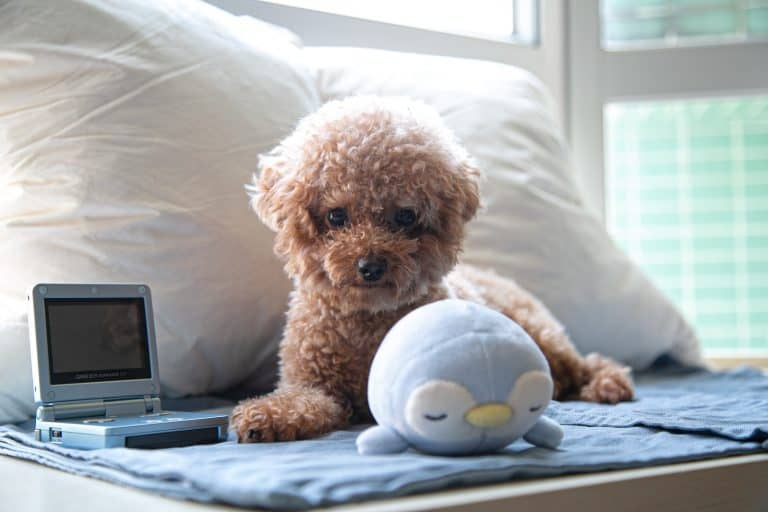 brown toy poodle on bed