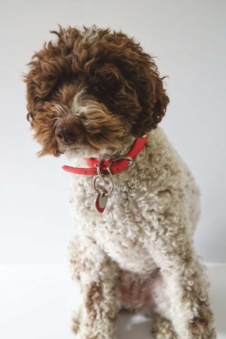 medium coat white and brown dog