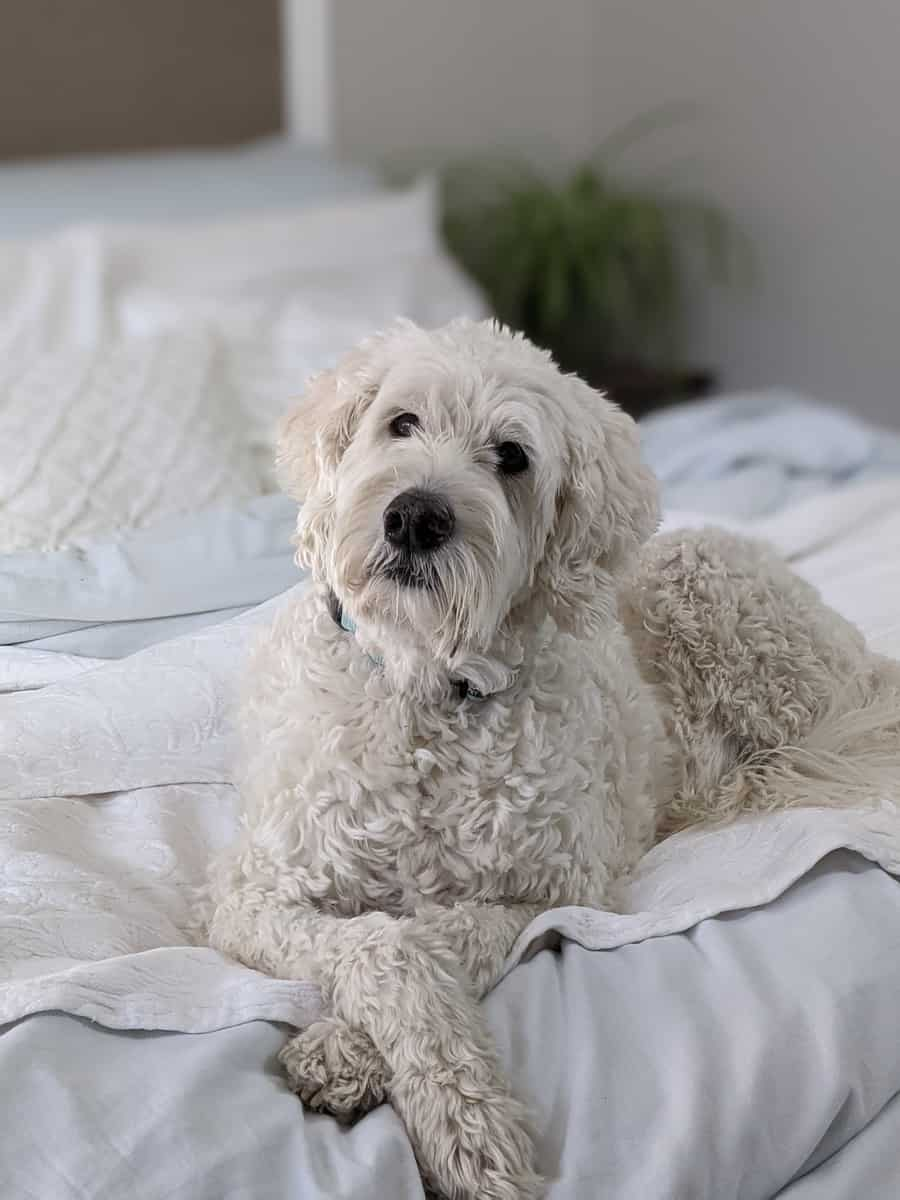 white poodle lying on bed