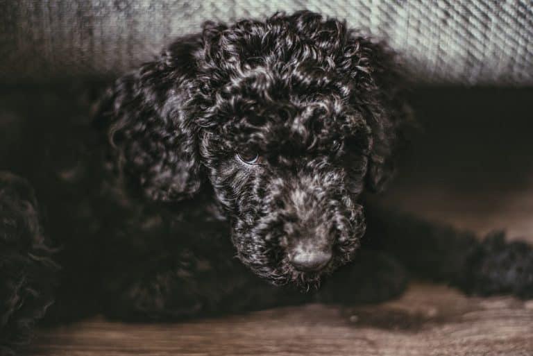 black standard poodle puppy lying on floor