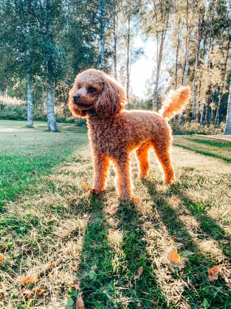 brown poodle on green grass field during daytime
