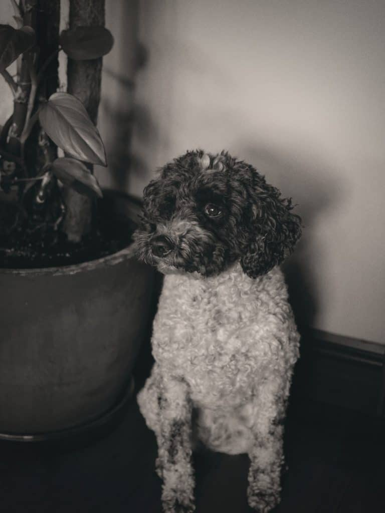 grayscale photo of curly haired small sized dog on black round pot